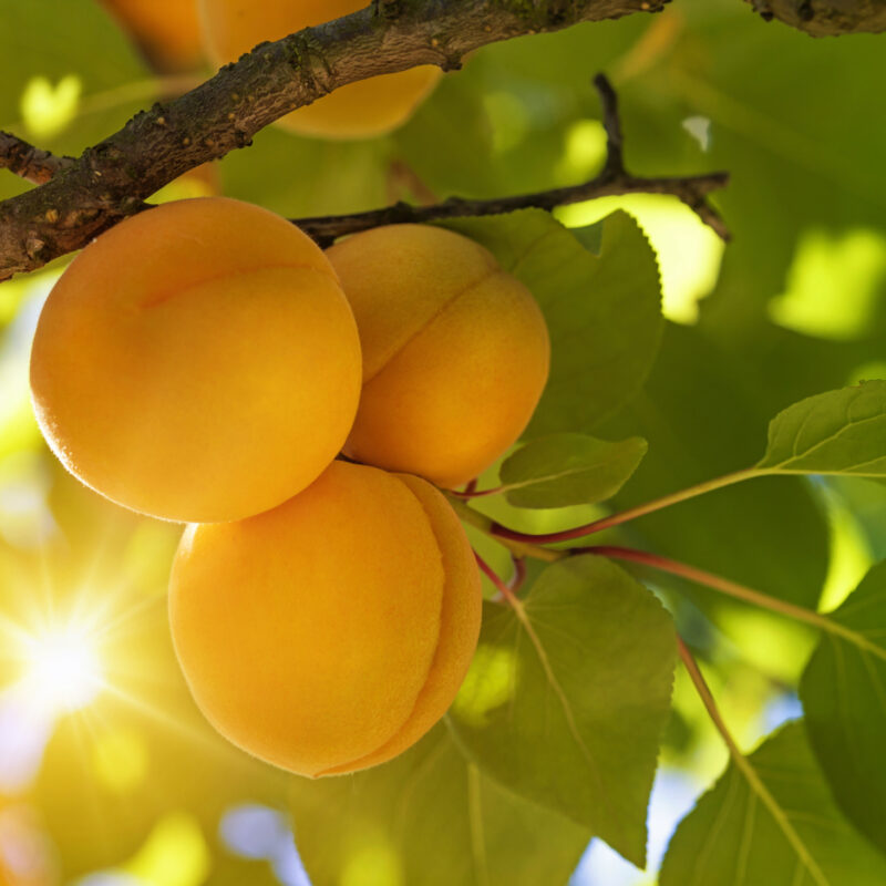 Apricot tree with fruits skincare ingredients