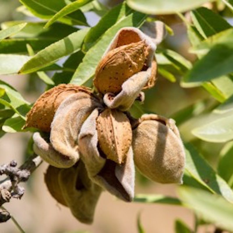 Almonds skincare ingredient