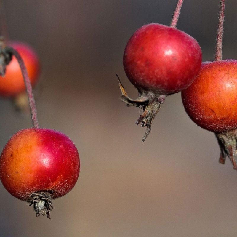 Alpine apple skincare ingredient