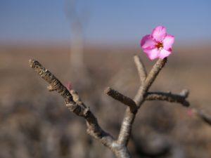 Desert rose natural skincare ingredient