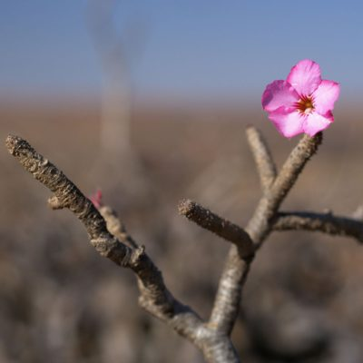 Desert rose natural skincare ingredient