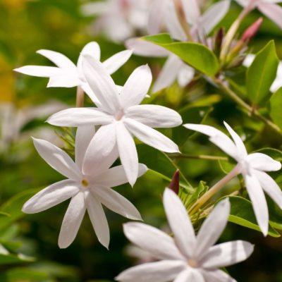 Jasmine skincare ingredient