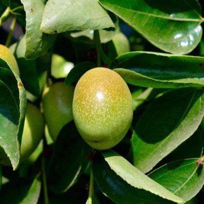 Jojoba natural skincare ingredient