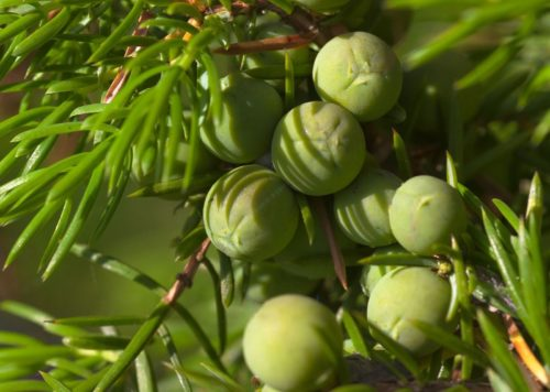 Juniper skincare ingredient