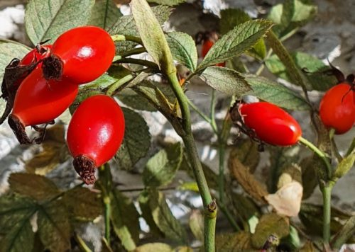 Rosehip skincare ingredient
