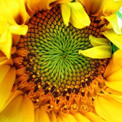 Sunflower natural skincare ingredient